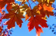 Fall leaves in Carnation, WA