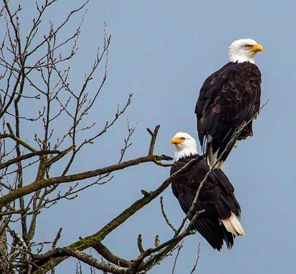 The Bald Eagle - the symbol of freedom in America.  Photo by Marlana Dutcher, BTP Support Team.